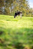 stock photo of grassland  - One Black and White Adult Cow Grazing at the Grassland with Tall Tress at the Side on One Sunny Day - JPG