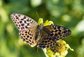 vlinder vlekkerig