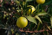 image of orange-tree  - Fresh green oranges on tree - JPG