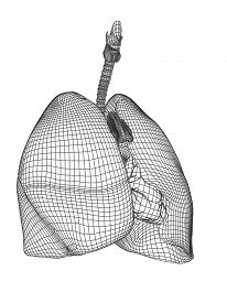 foto of respiratory  - Concept conceptual anatomical human man 3D wireframe mesh respiratory system  with lungs isolated on white background - JPG