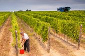 image of grape  - Old farmer harvesting grape with scissors juxtaposed to a grape harvesting machine operating in the background - JPG