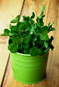 picture of sweet pea  - New Sprouts of Sweet Pea in Green Pot closeup on Plank Wooden background - JPG