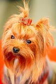 stock photo of yorkshire terrier  - Close Up Cute Yorkshire Terrier Dog Playing In Show - JPG