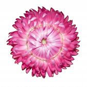 Pink Strawflower, Helichrysum Bracteatum Isolated On White