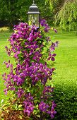 stock photo of lamp post  - A photograph of a clematis vine on a lamp post - JPG