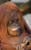 Time For A Manicure-Orangutan