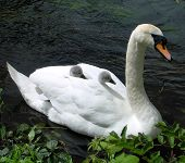 Baby Swans In The Protection Of Their Mother'S Feathers