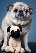 Funny Pug with toy pug