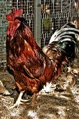 picture of chicken-wire  - a brown rooster in a chicken coop - JPG