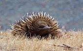 picture of ant-eater  - An australia echidna viewed from the front - JPG
