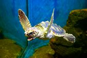 picture of sea-turtles  - hawksbill sea turtle curious and playful - JPG