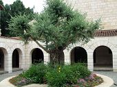 Olive Tree In A Historical/Religious Place In Israel