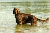 stock photo of english setter  - English red setter is standing into the water in sunshine  - JPG