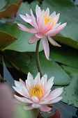 picture of water lily  - water lilies in the pond - JPG