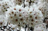 White Cherry Blossoming