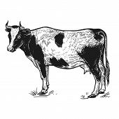 Farm Animal. Cow. Isolated Realistic Image On White Background. Handmade Drawing. Vintage Sketch. Ve poster