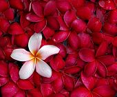 Pink and red plumeria