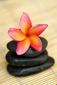 Tropical frangipani on black stone