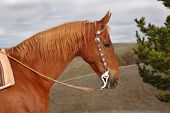A fine Saddlebred Stallion with Western bridle