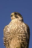 Closeup of Peregrine falcon crossbred Merlin against a blue sky