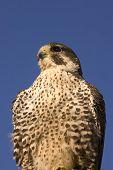 Closeup of Peregrine falcon crossbred Merlin against a blue sky