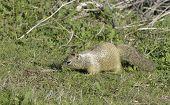 Colombian Ground Squirrel (spermophilus columbianus) feeding