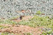 Killdeer (charadrius vociferus), the most widespread plover in North America