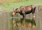 female moose (cow) feeding in a pond in Wyoming