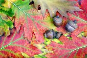 Bright Red Oak Leaves. Acorn On Oak Leaves. Acorn In Oak Forest. poster