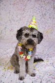foto of parti poodle  - Cute puppy ready for the birthday party - JPG