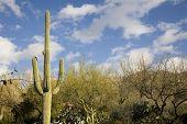 Saguaro cactus in the Arizona desert
