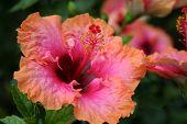 Bright tropical hibiscus