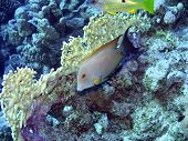 Tropical fish and coral in blue. Red Sea