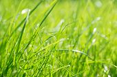 Lawn Background. Fresh Green Grass In Garden. Vividly Bright Green Carpet Outdoor. Decorative Plant  poster
