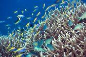 Underwater landscape with Blue-Green Chromis (Chromis viridis) and Yellow tail Anthias (Pseudoanthias  evansi).