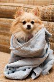 Pomeranian Wrap