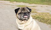 Smart Look Of The Dog. A Curious Dog. Pug. Expressive Dog Eyes Look Into The Lens. A Pet. Four-legge poster