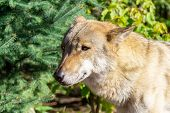 Close Up Portrait Of A Grey Wolf (canis Lupus) Also Known As Timber Wolf In The Forest In Autumn poster
