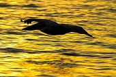 A pelican bird flys low to the water, silhouetted against the morning sunrise