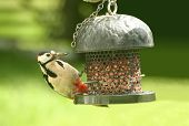 Great Spotted Woodpecker (Dendrocopos major) feeding from a garden bird feeder.