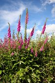 Wild foxgloves (digitalis purpurea) in a verge hedge, Cornwall, UK.