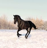 Black horse runs gallop on the snowfield