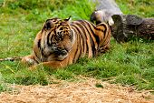 Sumatran Tiger Lying Down On The Grass