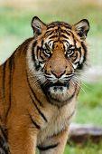 Portrait Of Beautiful Sumatran Tiger