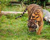 Young Sumatran Tiger Sniffing Wet Grass