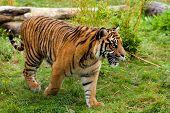 Side Portrait Of Young Sumatran Tiger