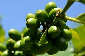 Koffieplant in Kuba