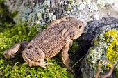 Common Toad (bufo Bufo) On Moss
