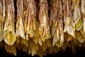 picture of tobacco barn  - Row of tobacco leaves curing in a barn - JPG