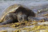 Green Hawaiian Sea Turtle